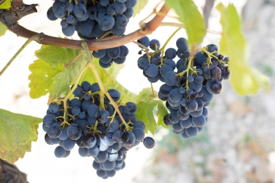 Cognigrape® Grape Extract